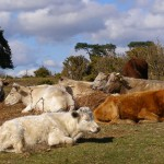 Cattle_near_Longdown_car_park-610