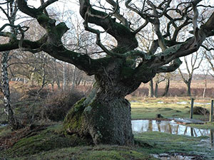 Oak tree on Bishop's Dyke © Copyright Robin Somes