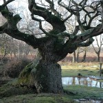 Oak_tree_on_Bishop's_Dyke,_610