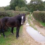 Ponies_on_a_Lane_South_of_Denny_Lodge_Jim_Champion