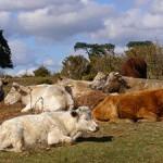 Cattle near Longdown car park