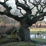 Oak tree on Bishop's Dyke © Copyright Robin Somes