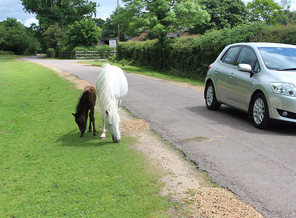 Drive carefully by two New Forest p[onies