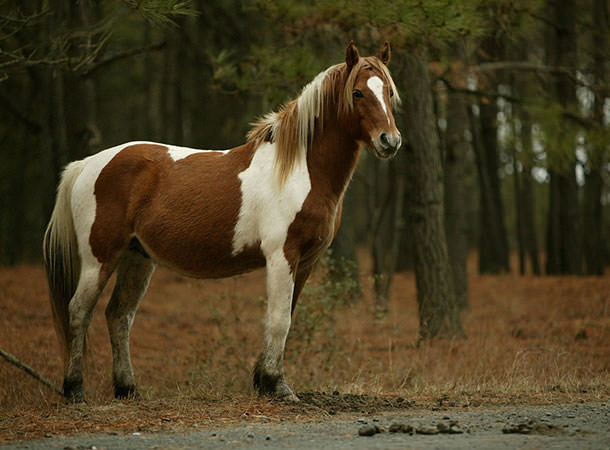 Local Plan - New Forest Pony